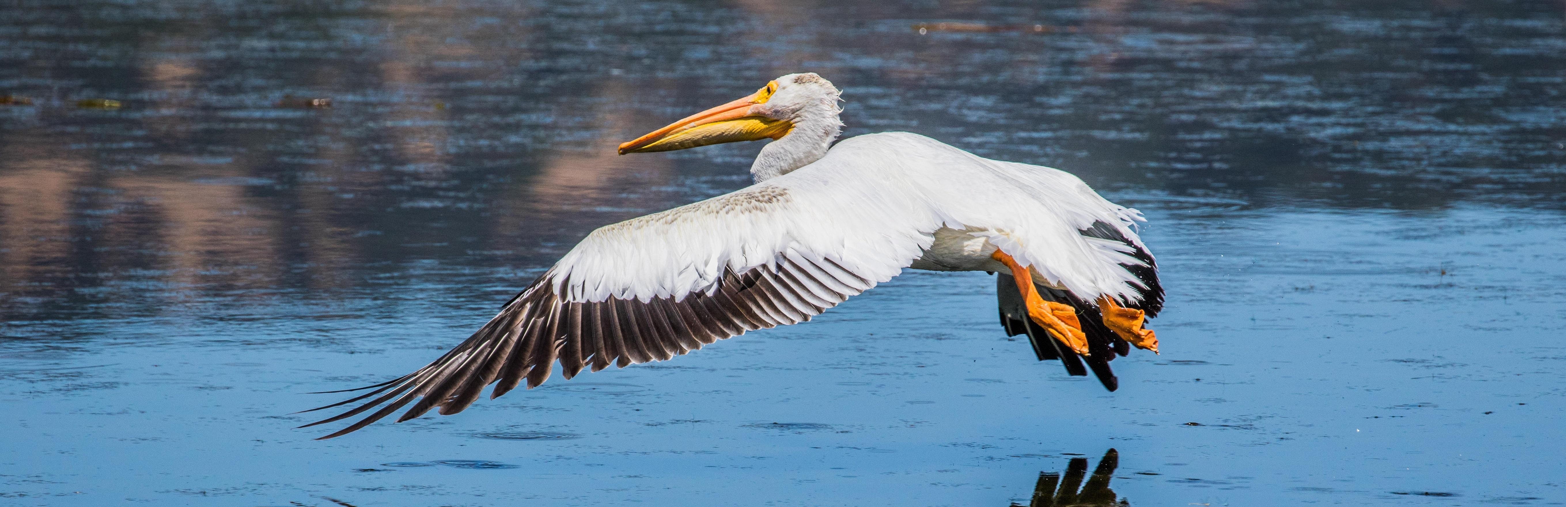 American-Pelican-Marin_BannerThin